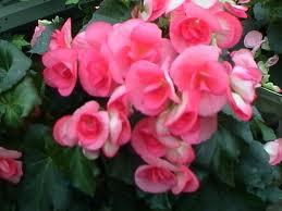 Begonia Brazil Flowers