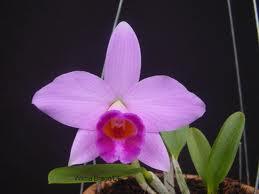 Laelias Brazil Flowers