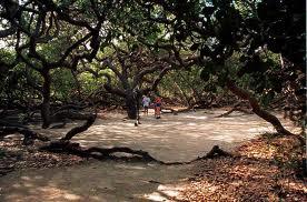 Natal Brazil Cashew Tree